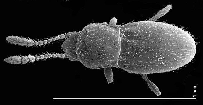 SEM image of Cephennium aridum from the Burns Piñon Ridge Reserve. Image provided by Mike Caterino.